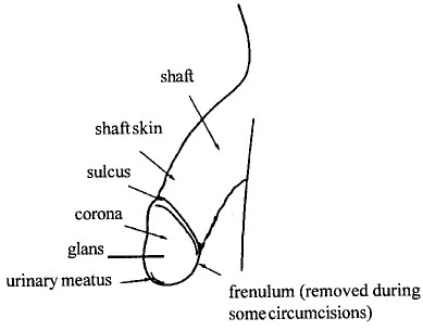 penis_anatomy1.jpg