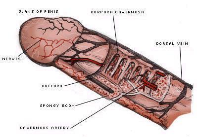 penis_anatomy3.JPG